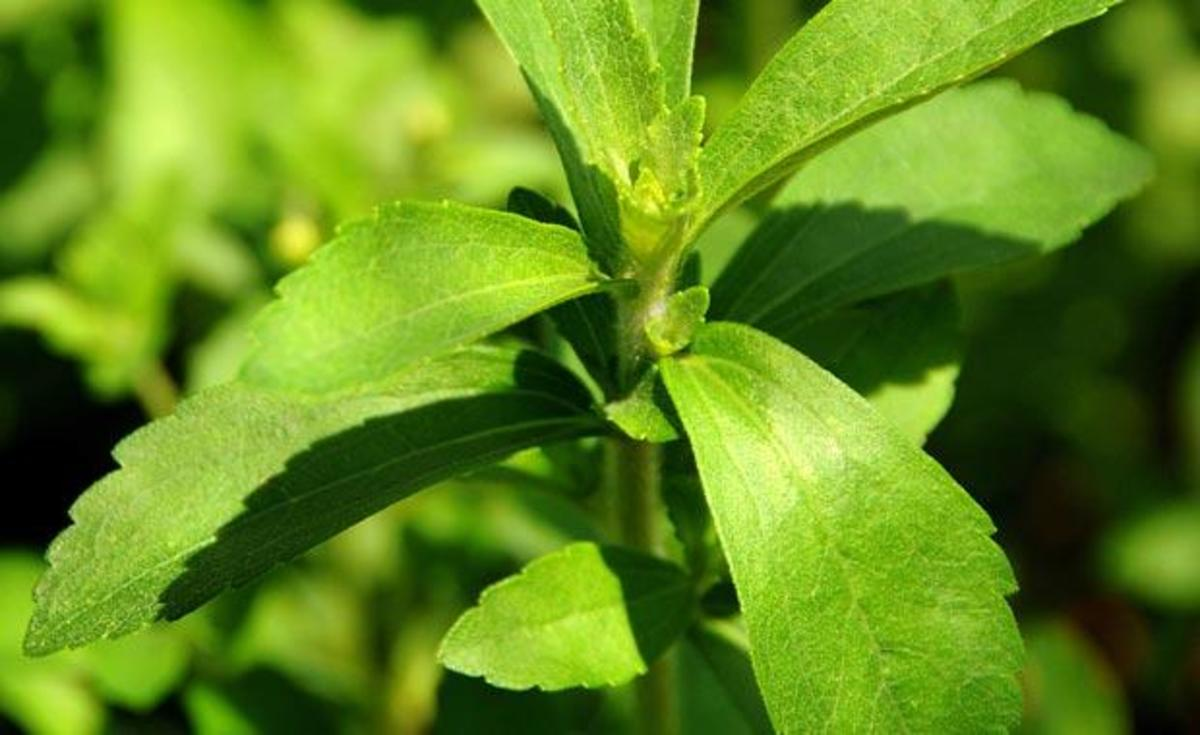 Stevia is an herb that is 50 to 450 times sweeter then sugar.
