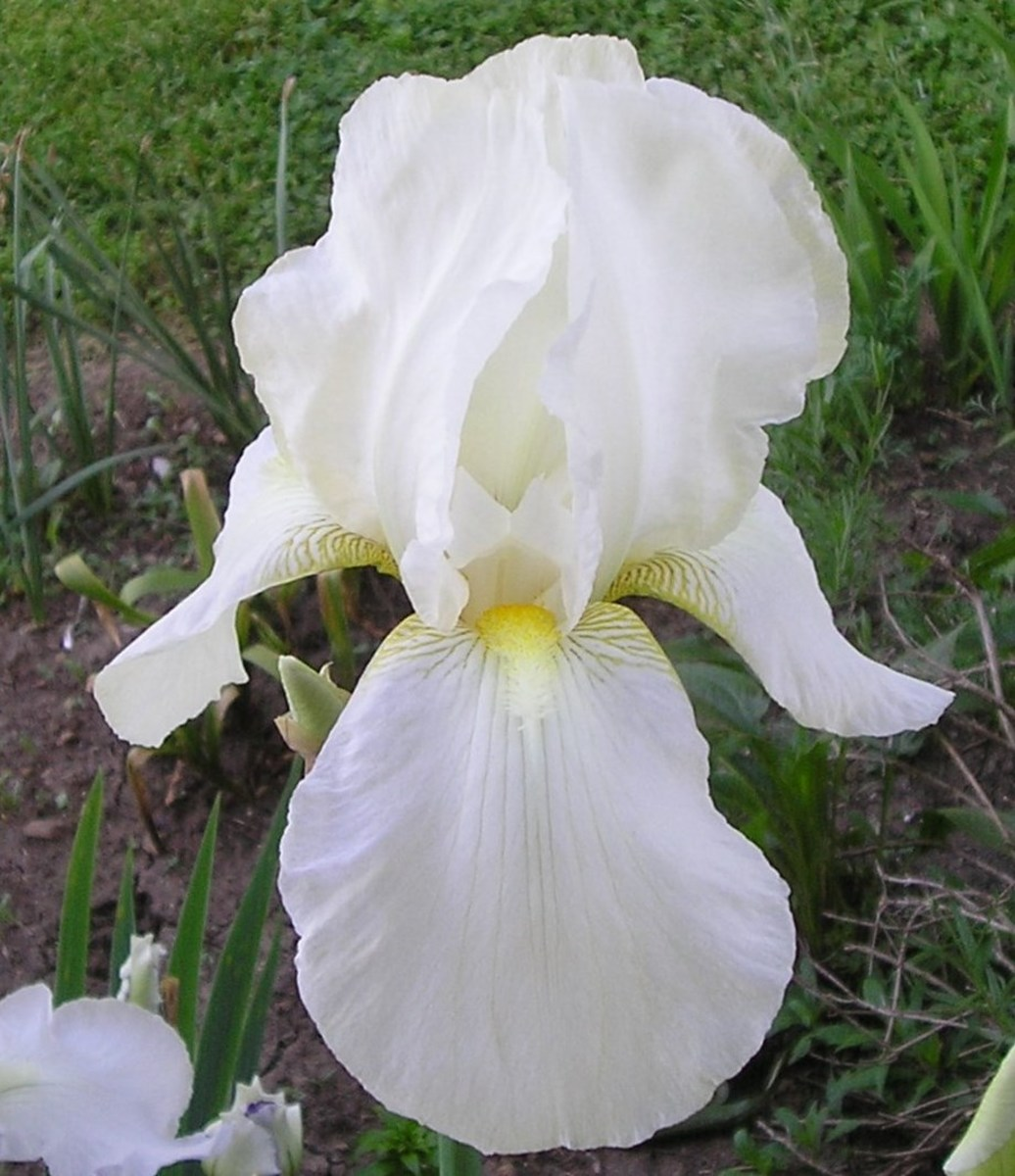 Irises like this one are the result of careful hybridization and selection. Only the best cultivars are registered and bred for commercial distribution.