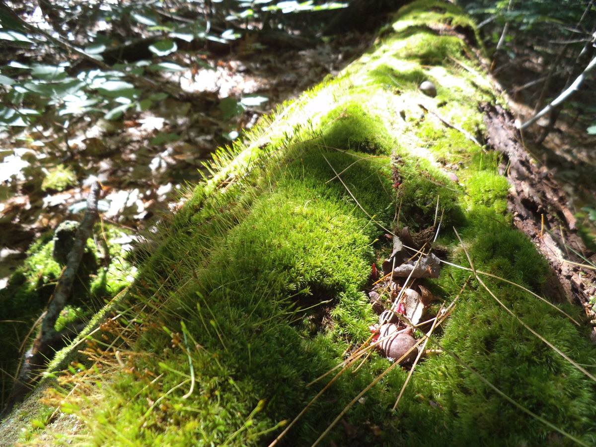 I'm lucky to easily find moss in the shady woods around my cottage. There's plenty of humidity and shade so the moss occurs naturally on fallen logs or tree stumps.