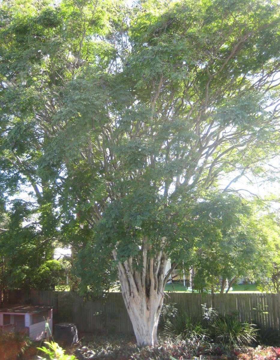 Leopard Tree, SE Queensland.