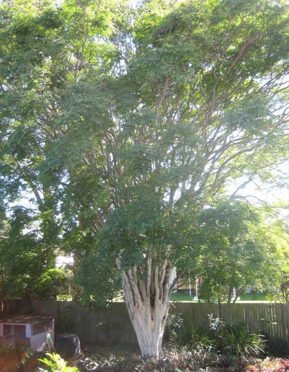 Leopard Tree, SE Queensland.