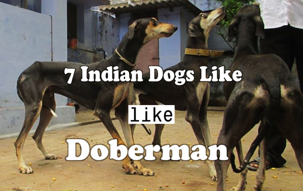 7 Indian Dogs like Doberman