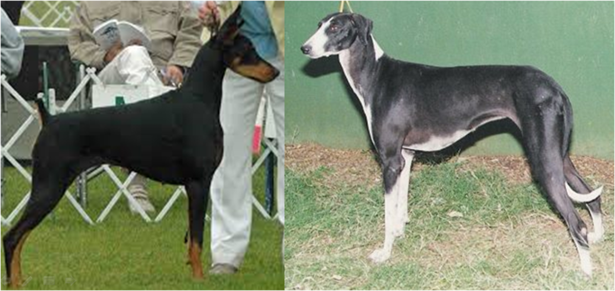 Doberman Female Vs Mudhol Hound