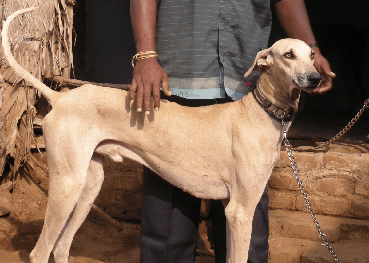 The Chippiparai or Shippiparai Dog of India