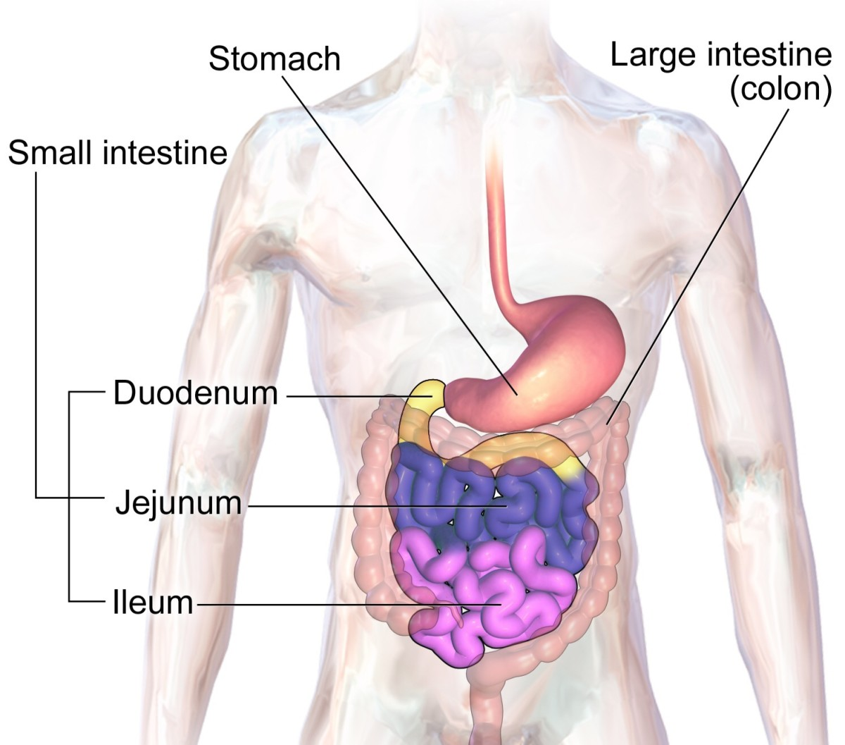 Our large intestine is inhabited by a large population of bacteria.