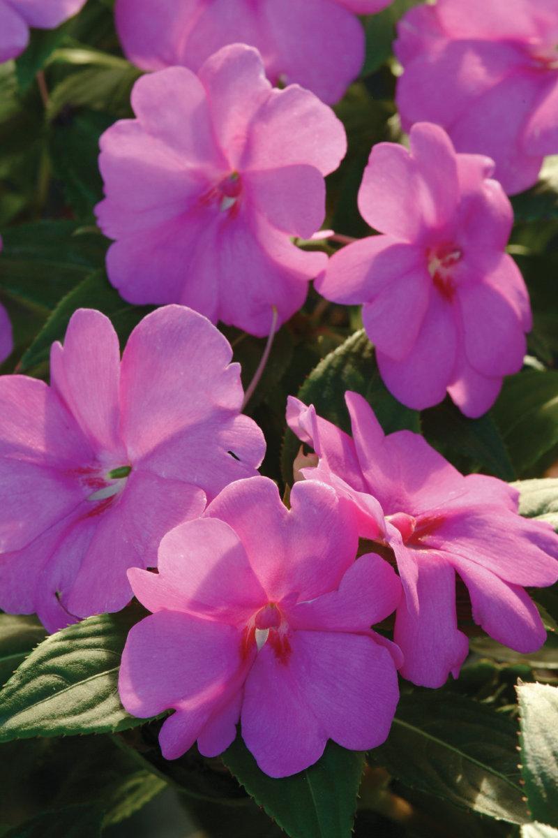 Bolero™ Orchid - Trailing Impatiens - Impatiens hybrida