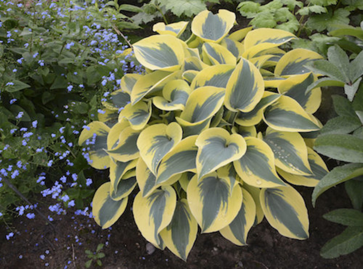 "Autumn Frost is a jumble of striking  blue leaves with big yellow margins in spring. Just 10 to 12"" tall, the broad gold margins lighten to soft white in summer."