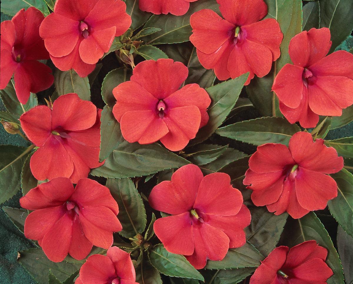 Bolero™ Bright Coral - Trailing Impatiens - Impatiens hybrida