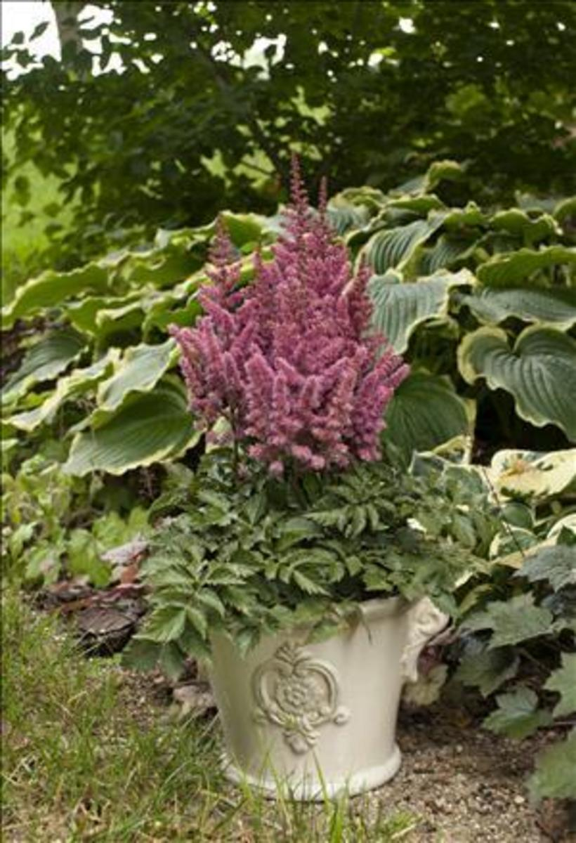 As a container plant, it is even more important to keep astilbe in rich,  well watered and well drained soil.