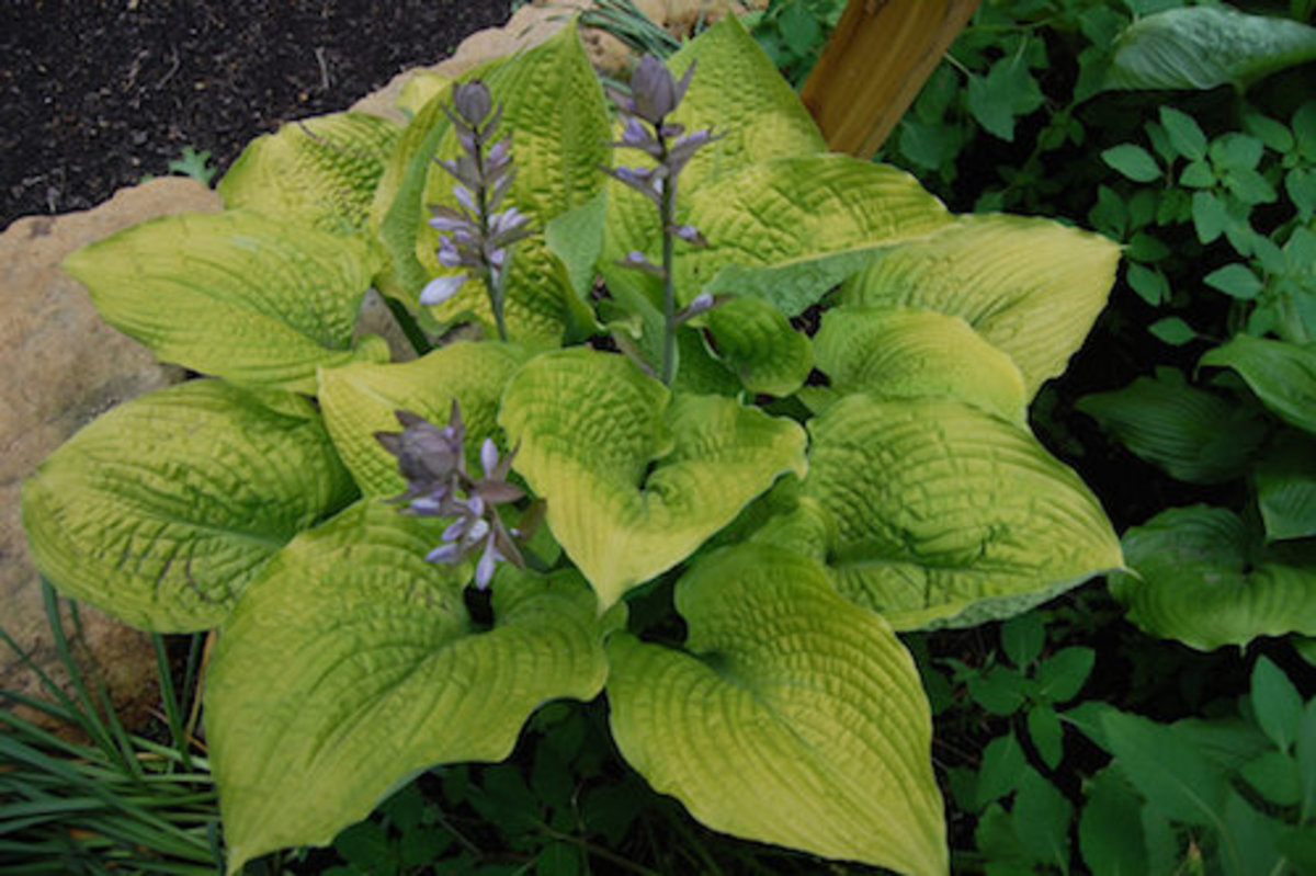 The thick, golden color showcases the puckered and wavy leaves of the 'Coast to Coast' hosta. Pale violet flowers are attractive to humming birds.