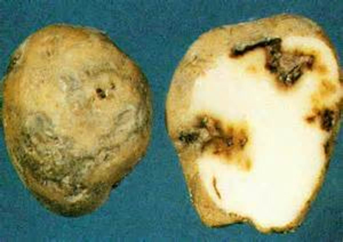 example of potato blight
