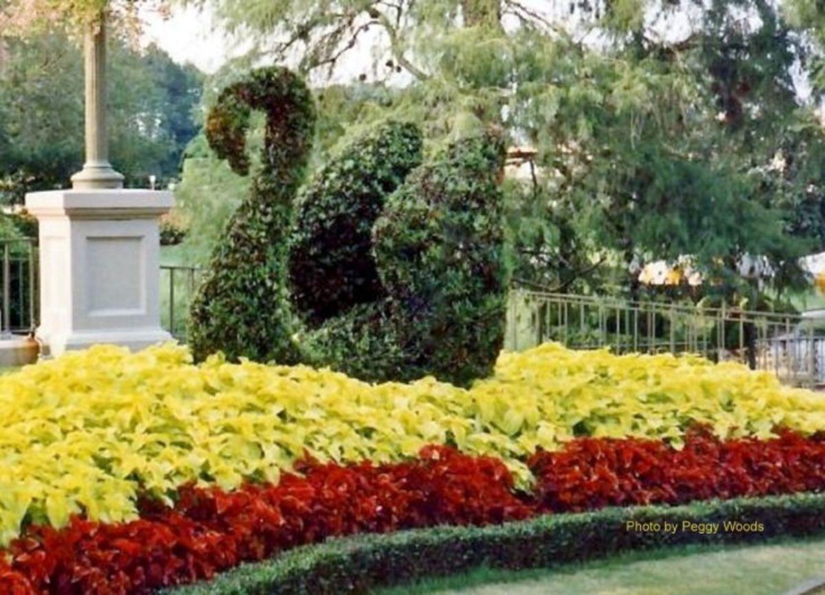 Swan topiary at Walt Disney World