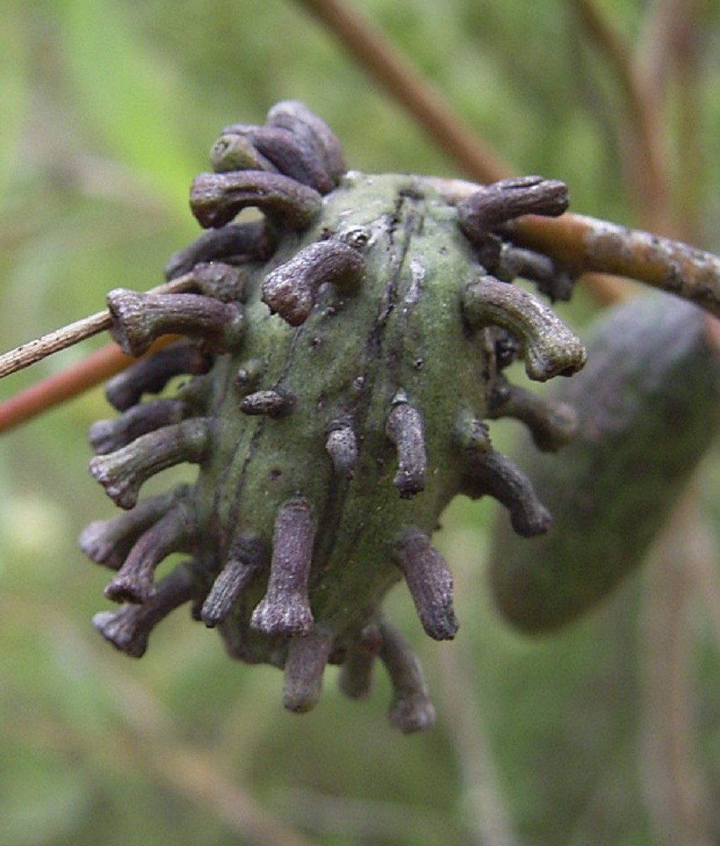 Insect's  gall