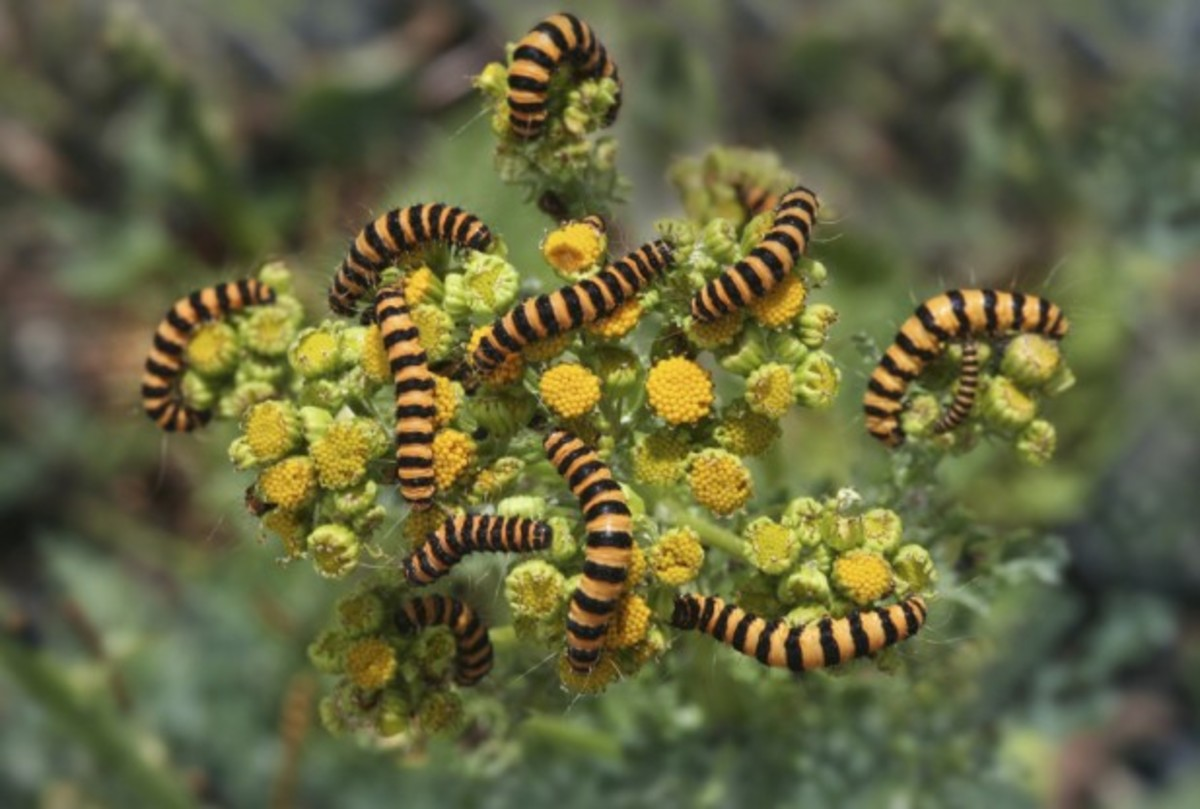 Caterpillars festing on floral blooms