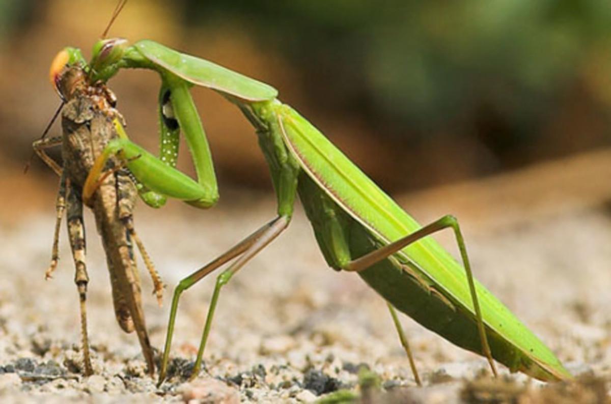 Predator Praying Mantis-Enjoying a grasshopper  meal. CANNIBALS ?