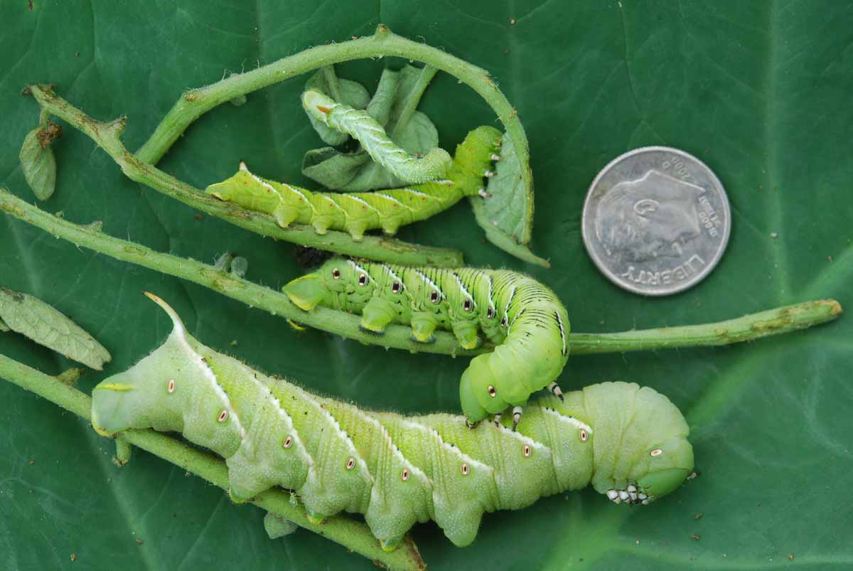 Hornworms-a leaf eating insect