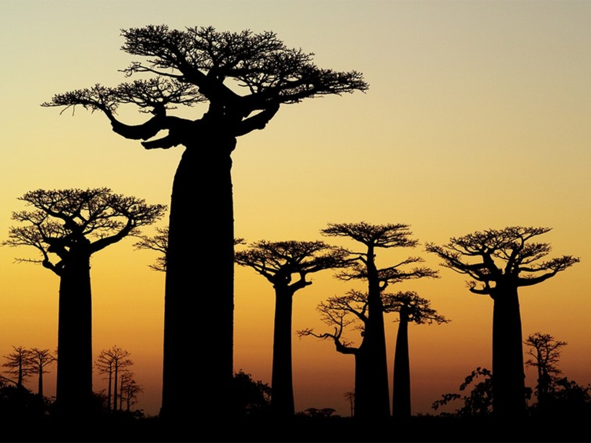 Trees dance and sway in the dying sun of Madagascar.  Dance! Dance! Dance! for tomorrow is ANOTHER DAY. Source: National Geographic, 2015