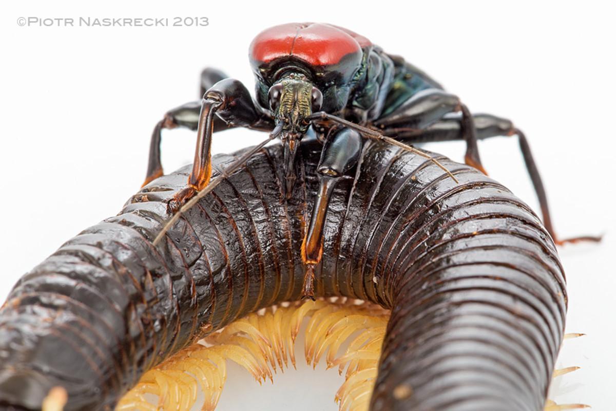 "Venomous Assassin bug- ""Delicious millipede"" It SUCKS!"