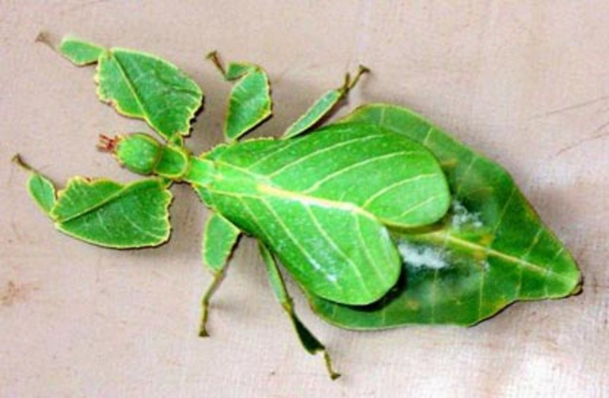 Mimicry-leaf insect. Do i look an INSECT ?