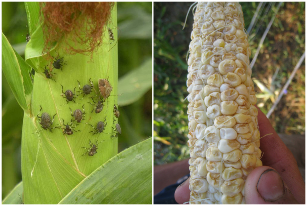Fruit sucking insects on corn ear