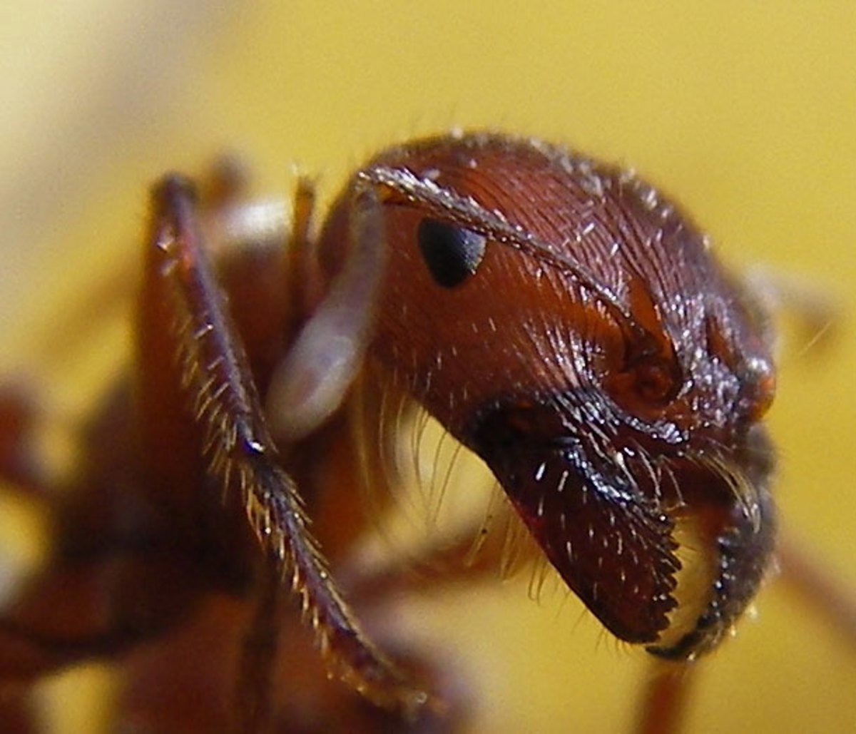The Red Ants are coming- YOU, are just MANDIBLES AWAY !