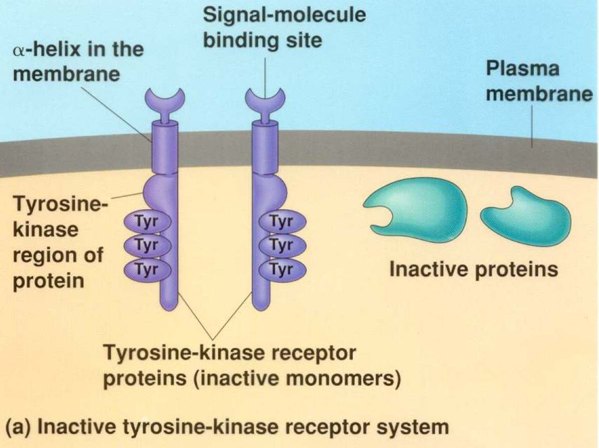 Tyrosine kinase linked receptor