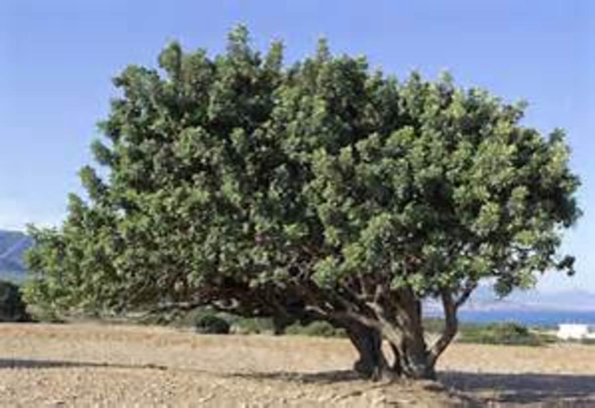 Not As Stately As A Cedar of Lebanon
