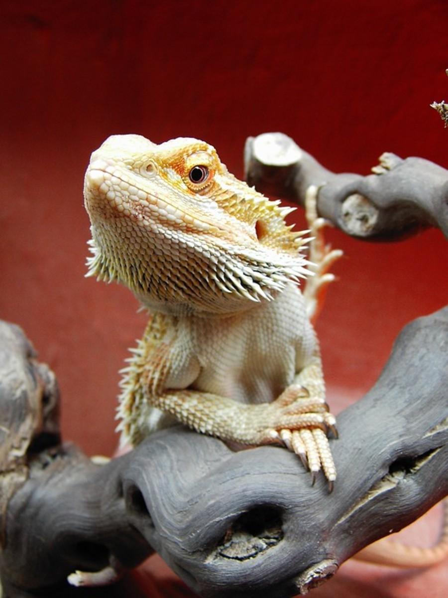 Citrus Bearded Dragons