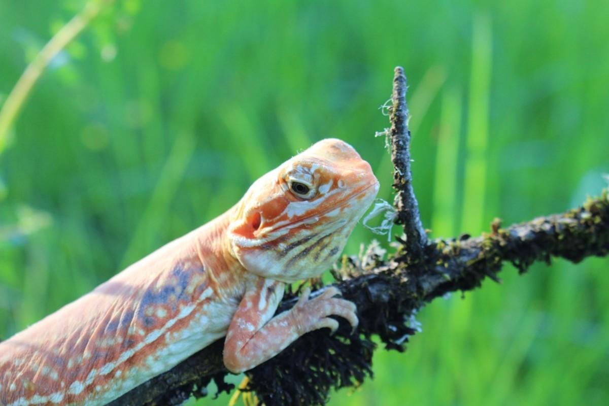 Citrus Dragon Breeding Info - Breeding Probabilities
