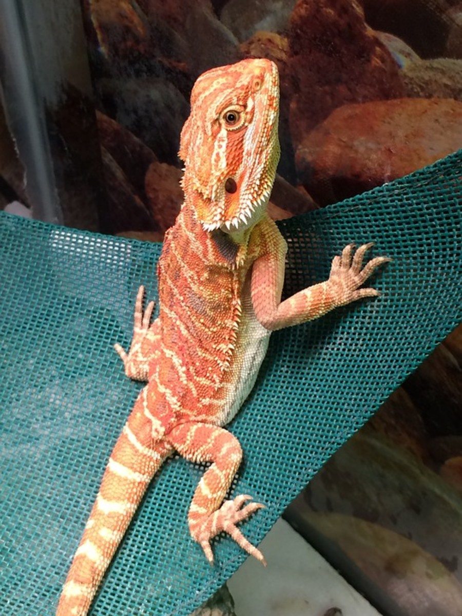 Citrus Bearded Dragon Species