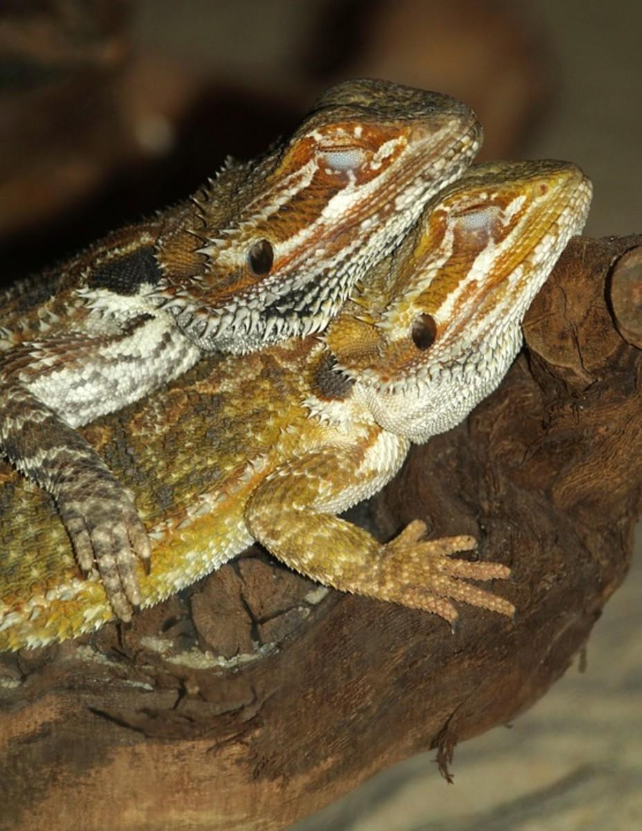 Characteristics of Citrus Bearded Dragons - Selective Breeding