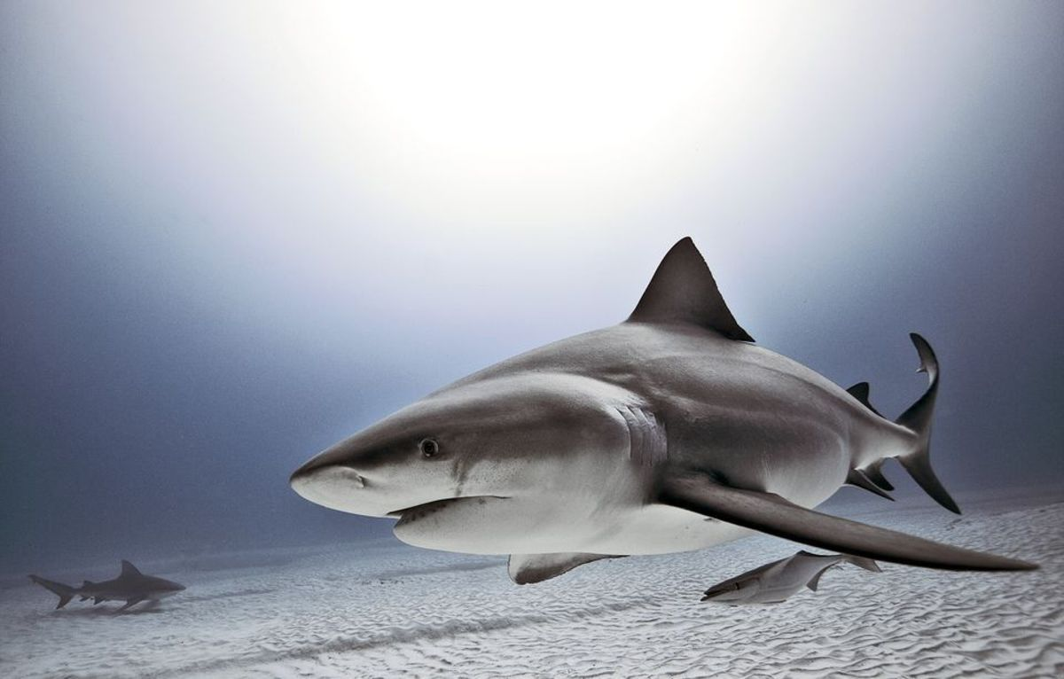 In the Rivers and Lakes: An Overview of the Freshwater Sharks