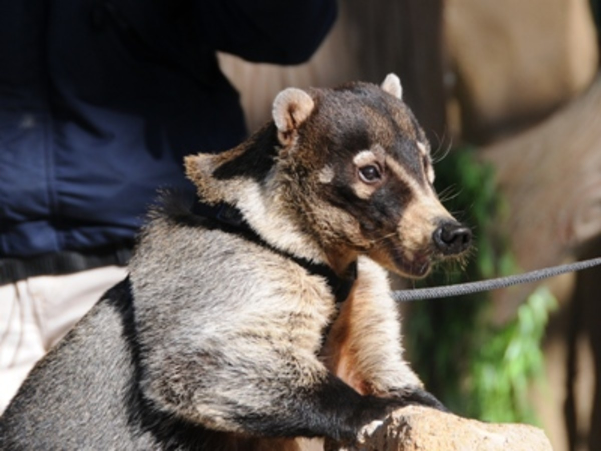 Many states ban coatimundis as pets because they are scared of the unusual and believe them to be dangerous.