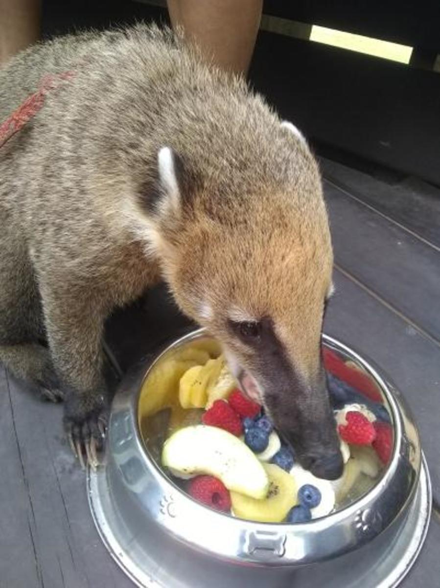 Vega, nomming away at fruits.