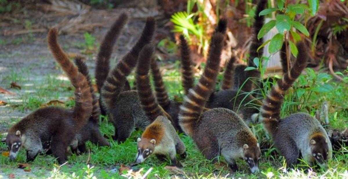A band of coatis foraging.