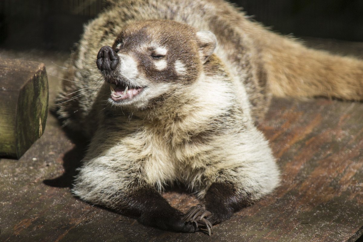 A white nosed coati relaxing.