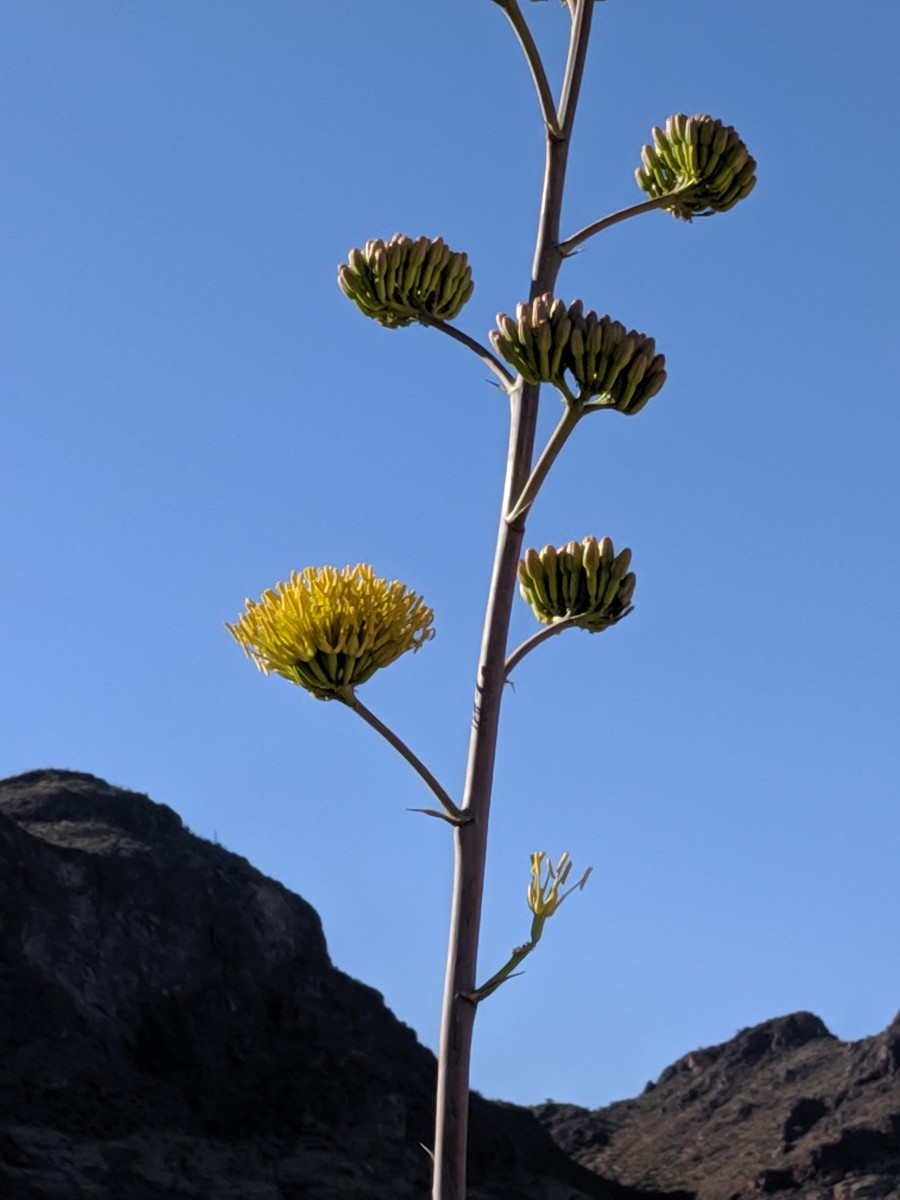 Blooms on Agave only last for a few days but its large, yellow flowers are beautiful