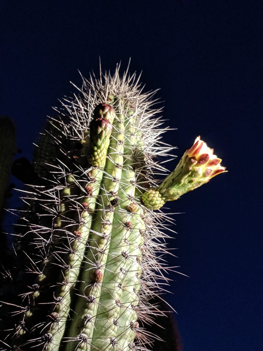 Organ Pipe Cacti bloom at night and rely mainly on nocturnal pollinators such as bats and insects that come out at night.  Blooms still open after sunrise will be visited by bees, butterflies, hummingbirds  and other daytime pollinators