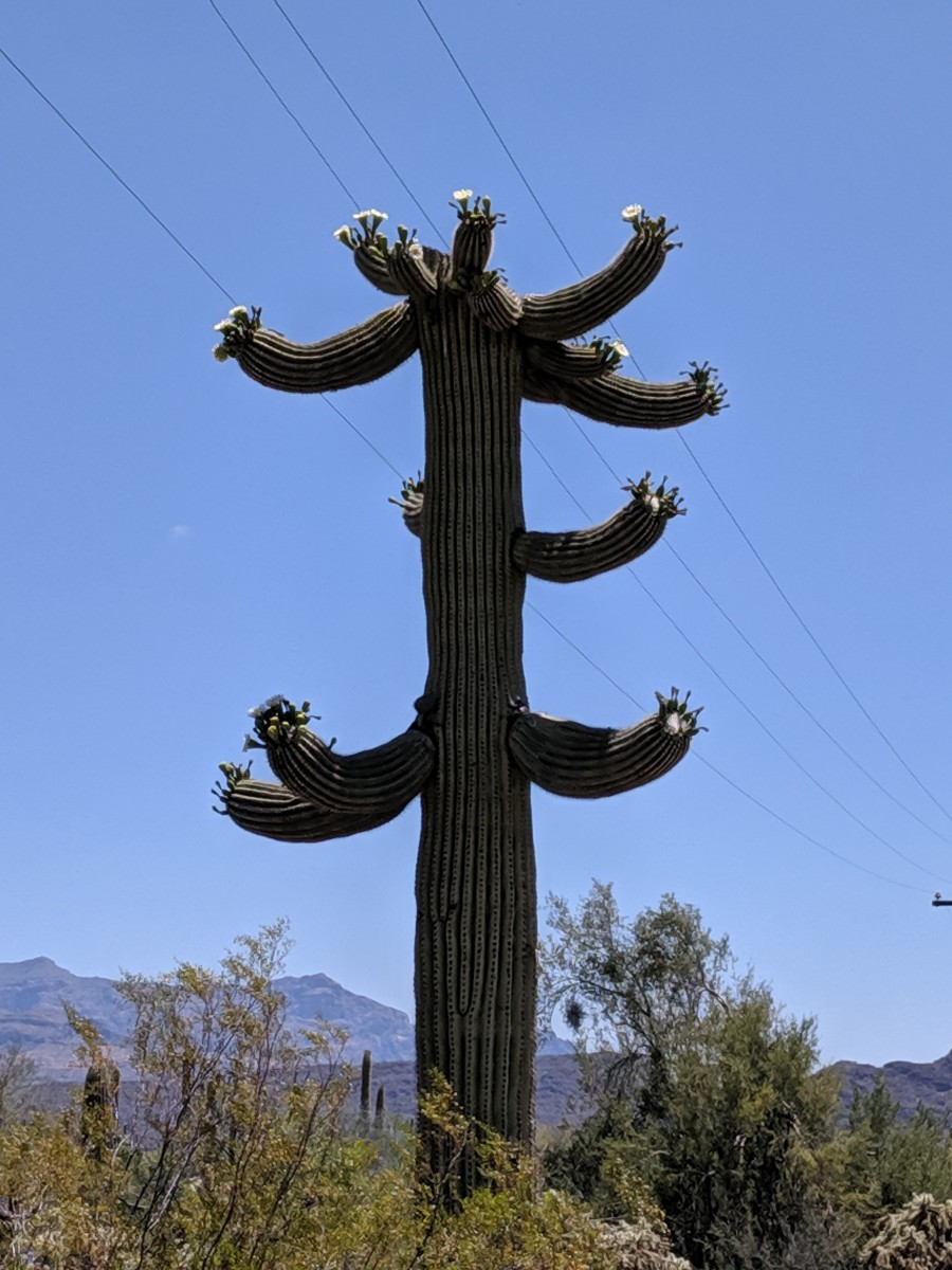 Large Saguaro Cactus with numerous blooms.