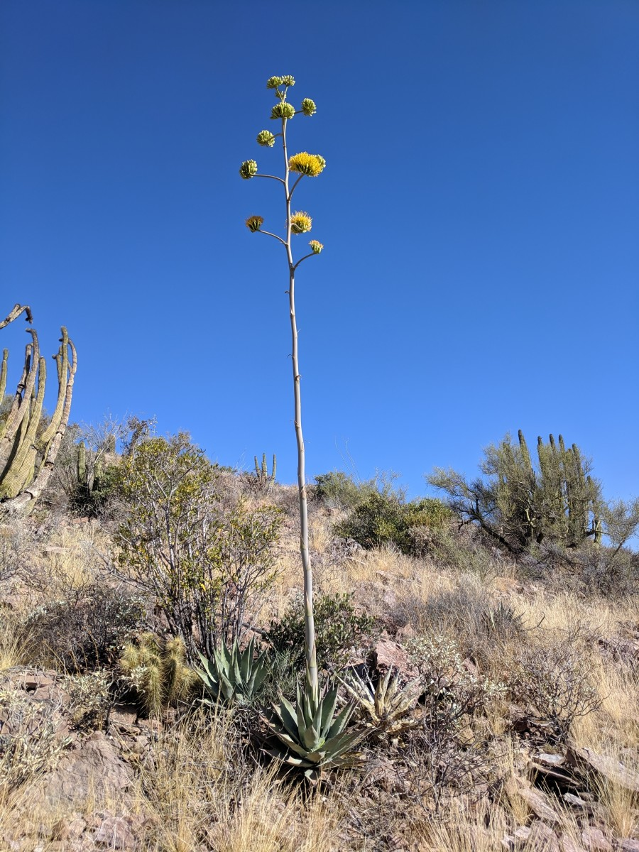 Agave, a desert succulent  similar to a cactus in its ability to thrive in a low water environment, produces yellow flowers on a very high stem