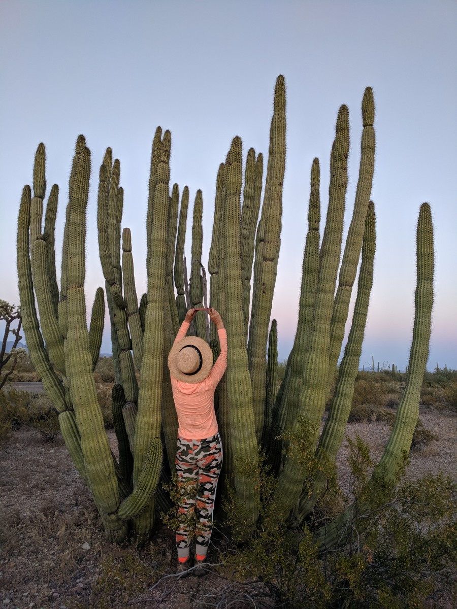 My wife photographing bloom on Organ Pipe Cactus.  Organ Pipe Cacti consist of a clump of  tall,and relatively thin branches growing upward like pipes on an oran.