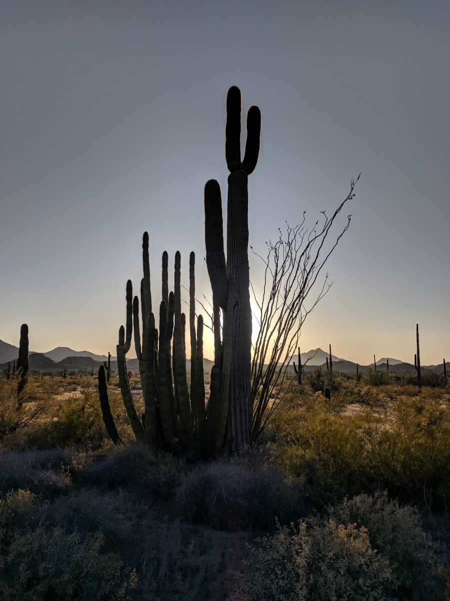 Closer View of Organ Pipe Cactus growing next to taller Saguaro Cactus (from photo above) as the sun is setting.