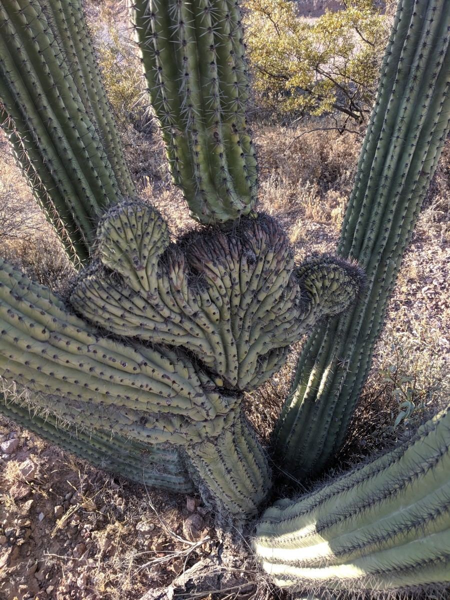 Note the Crested Portion of Cactus growing at bottom between the normal cylindrical stalks of the cactus.  Cresting is a deformity that occurs in Cacti and related species.
