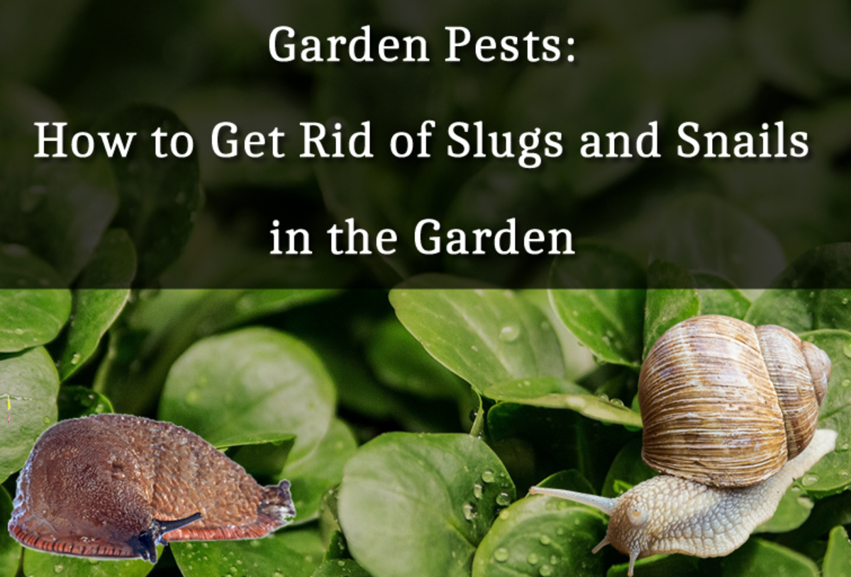 Garden Pests: How to Get Rid of Slugs and Snails in the Garden