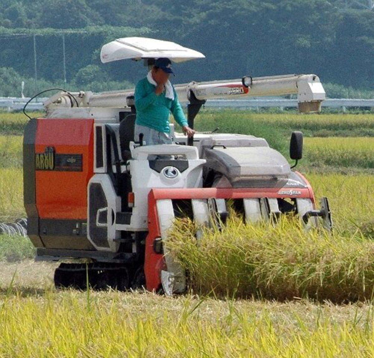 Rice Harvest in Japan