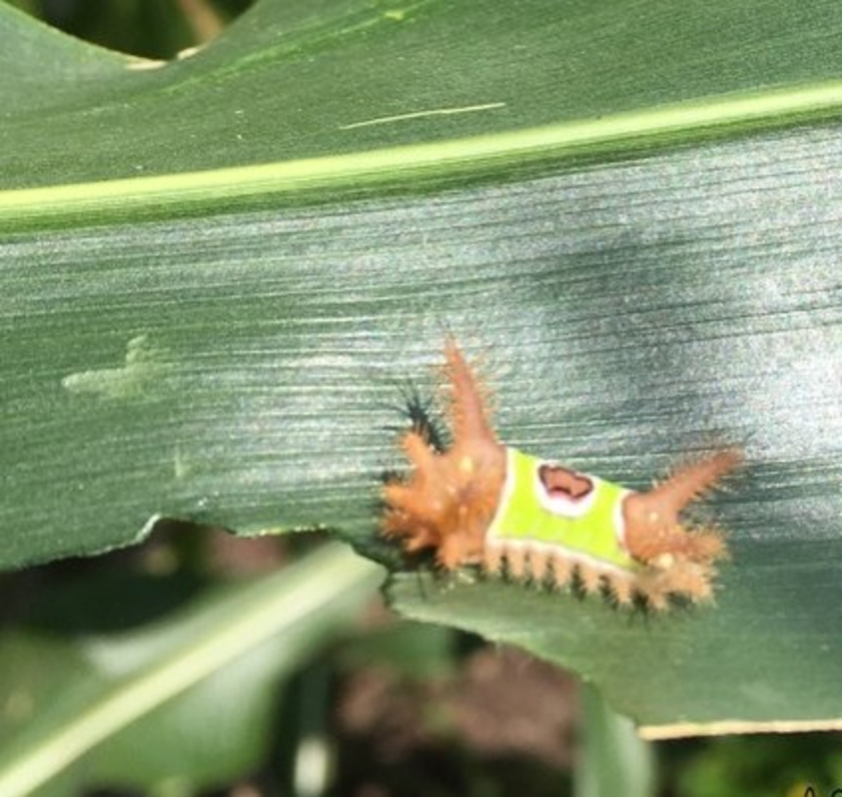 My own photo of a Saddleback Caterpillar that stung me.