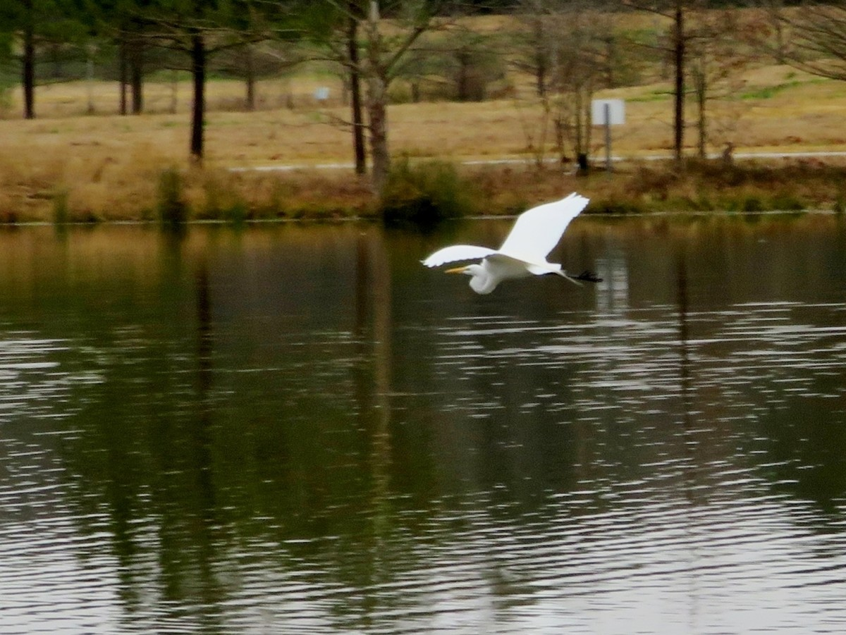 Great White Egret in Flight at Keith-Wiess Park