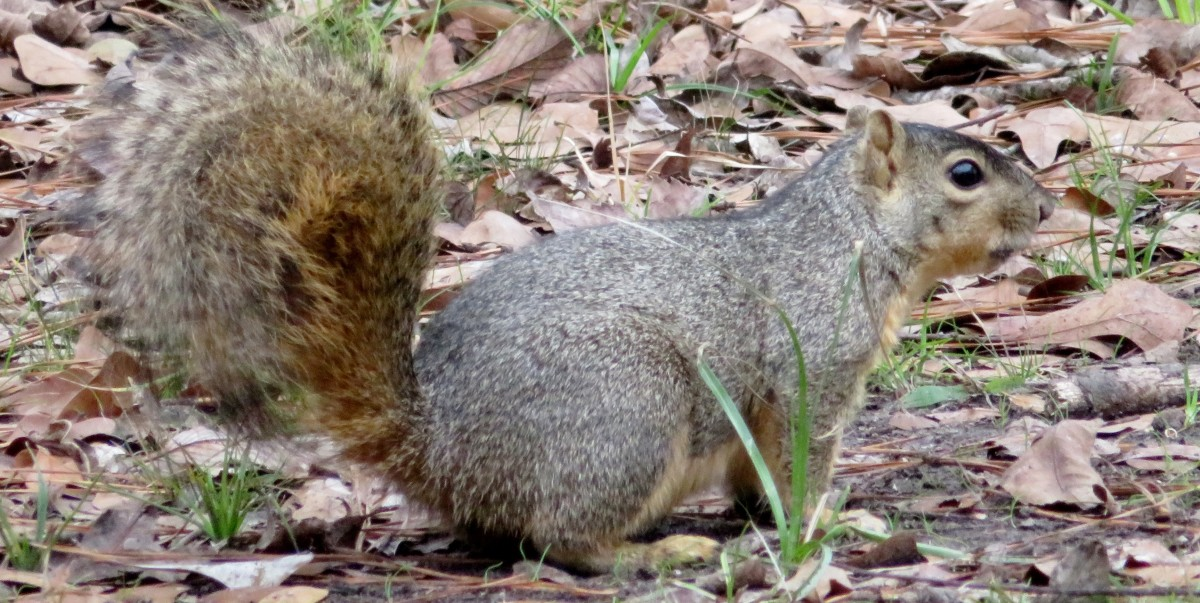 Squirrel in Keith-Wiess Park