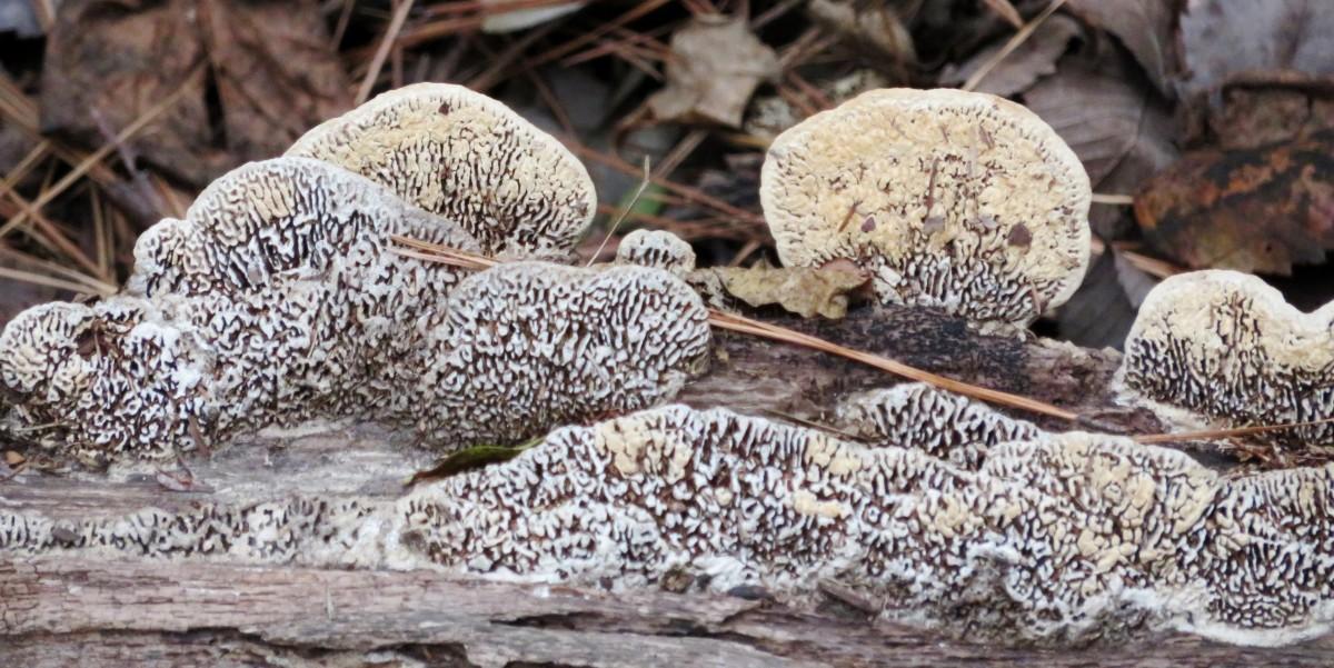 Mushrooms on Fallen Tree