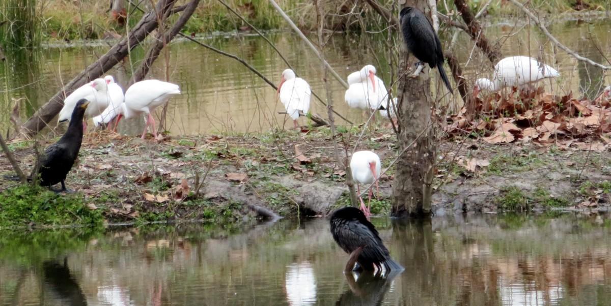 White Ibis + Neotropic Cormorants